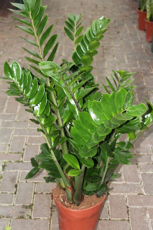 Zamioculcas Zamiifolia Approx 60cms Tall