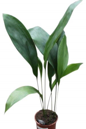 House Plant - Aspidistra elatior - Cast Iron Plant 55cm
