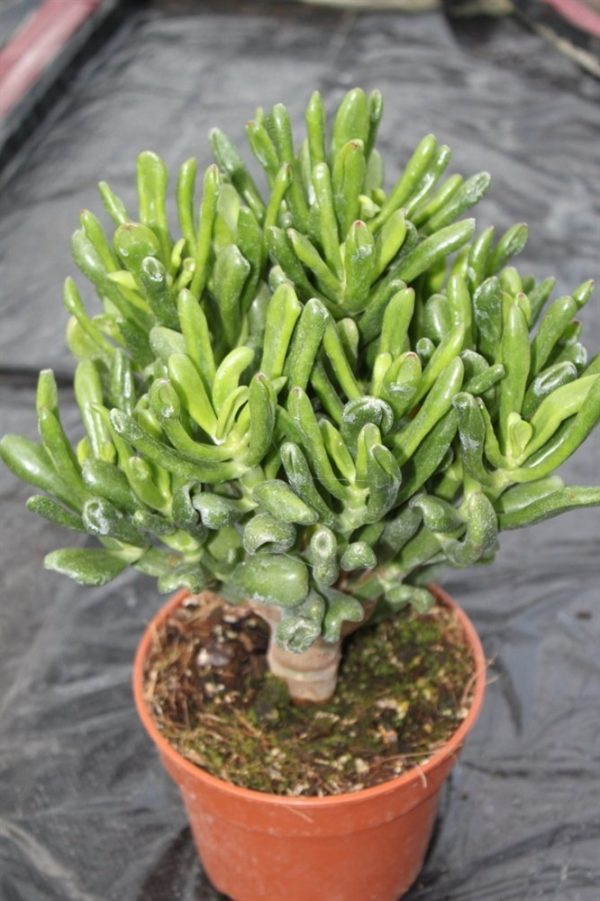 Olive Grove 15cm Crassula Ovata/Gollum Jade Indoor Money Plant