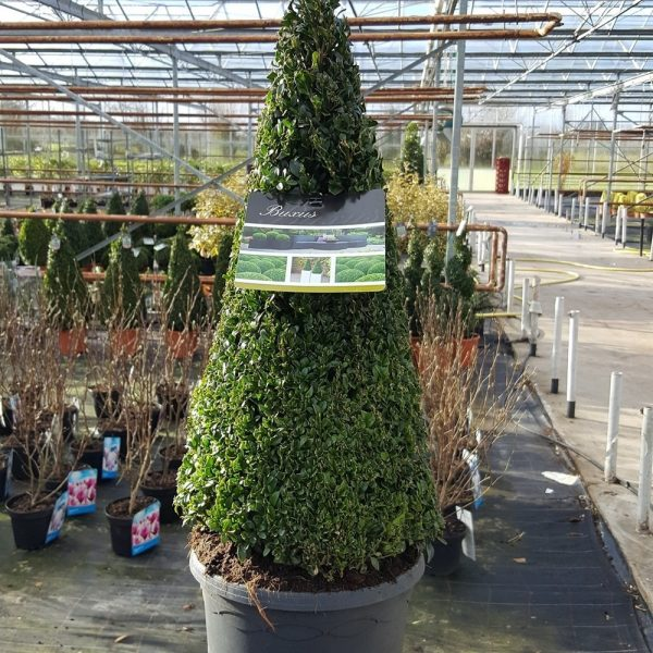 Buxus sempervirens Pyramid Shape Box Plant Approx 65cm Tall