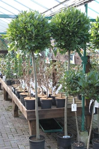 Laurus nobilis Bay Trees - Large Standards 2M tall.