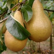 Dwarf Patio Fruit Tree- Pear- Variety 'Beurre Hardy' Approx 75cms Tall
