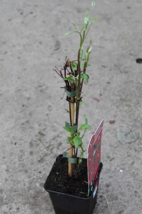 Climbing Plant - Clematis 'Rouge Cardinal'