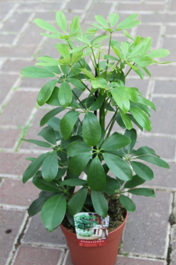 Schefflera arborea Nora Green Umbrella Plant 60cms