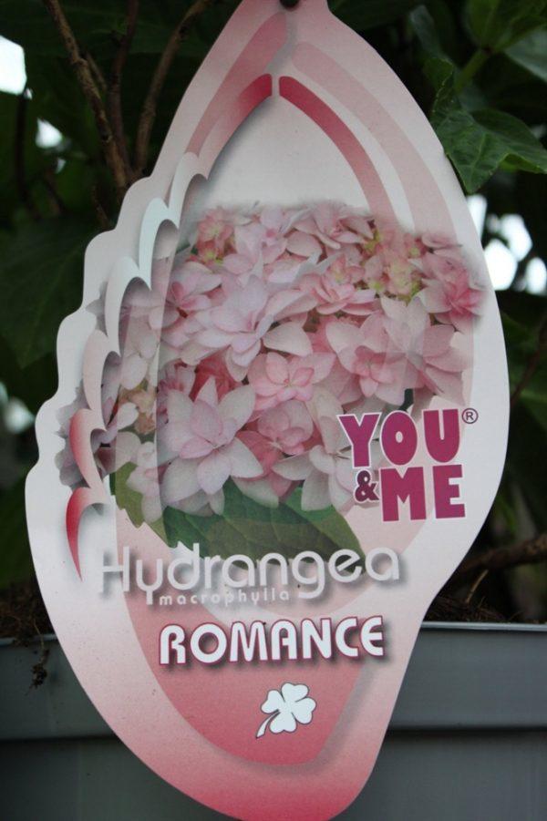 Hardy Garden Hydrangea Macrophylla 'Romance'