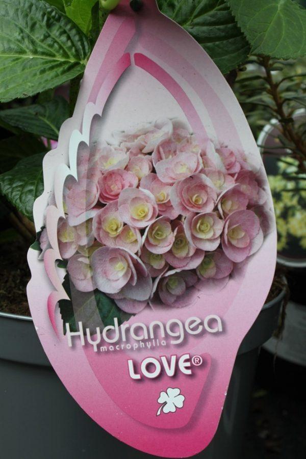 Hardy Garden Hydrangea Macrophylla 'Love' LARGE PLANT
