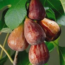 Ficus Carica 'Brown Turkey' - Sturdy Fig Tree 60cm Tall