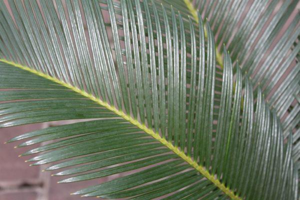 Cycas Revoluta - Japanese Sago Palm