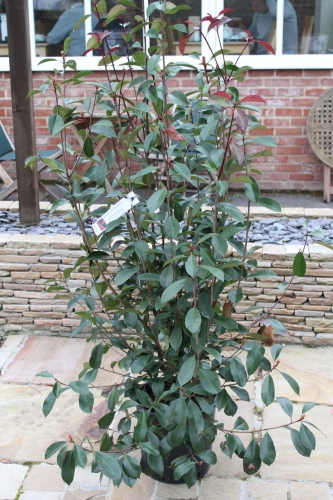 Photinia Fraseri Red Robin - Bush -Approx 120cm Tall