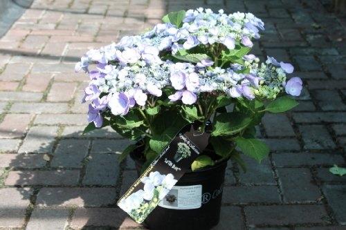 Hardy Garden Hydrangea Macrophylla 'Blue' GOOD SIZED PLANT