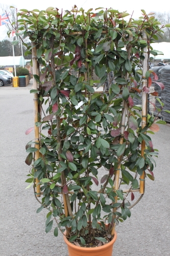 Photinia Fraserii Red Robin - on a Trellis Approx 1.7M Tall