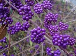 Callicarpa Bodinieri - Beauty Bush - Large plants with berries Approx 55cms tall