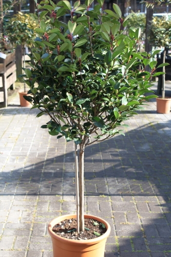Photinia Fraserii Red Robin - HALF STANDARDS-approx 1.6m tall