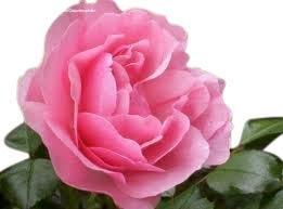 Standard Rose Tree Bush Variety 'Congratulations'