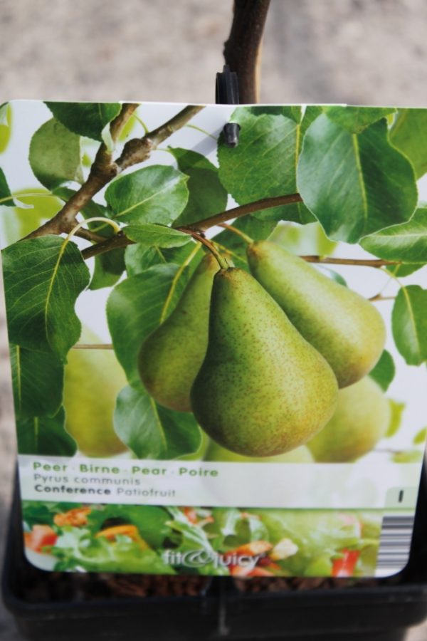 Dwarf Patio Fruit Tree- Pear- Variety Conference - Approx 75cm Tall
