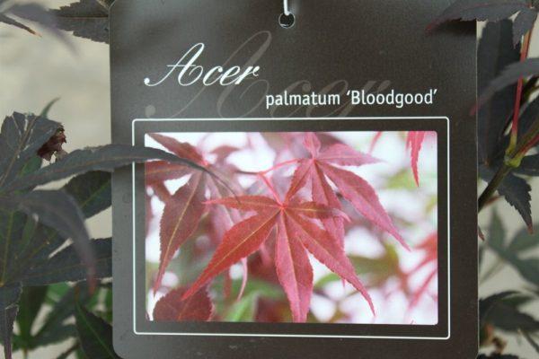 Acer Palmatum BloodGood - Japanese Maple 1.7M Tall
