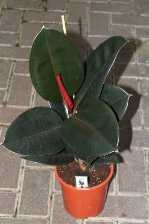 Ficus elastica - Rubber Plant Approx 35cms