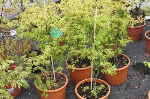 Acer Palmatum Dissectum Flavescens - Japanese Maple 100cm Tall