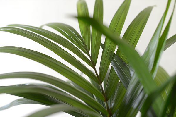 Howera Forsteriana, Kentia Palm 1.4M Tall - Indoor Plant