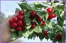 Dwarf Patio Fruit Tree - Cherry- Variety 'Morello'