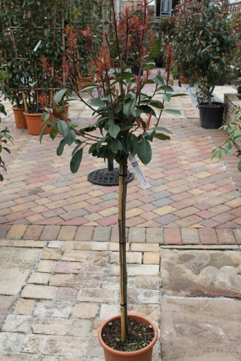 Photinia fraseri 1.2m Little Red Robin Half Standard