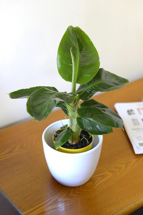 Musa Dwarf Tropicana- Banana Tree Approx.25 cms Tall.