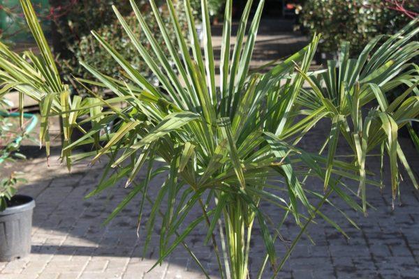 Trachycarpus fortunei Chusan Palm Approx 95cm Tall
