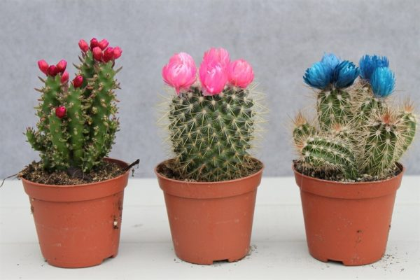 Cactus Plants- Set of 3 Indoor Decorated Cactus Plants