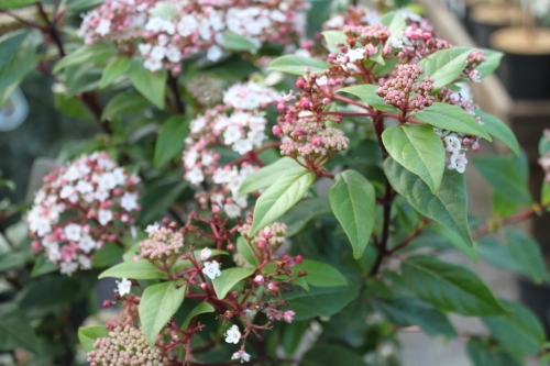 Garden Plant-Virburnum Tinus - Half Standards - Unusual Form Of This Hardy Garden Plant