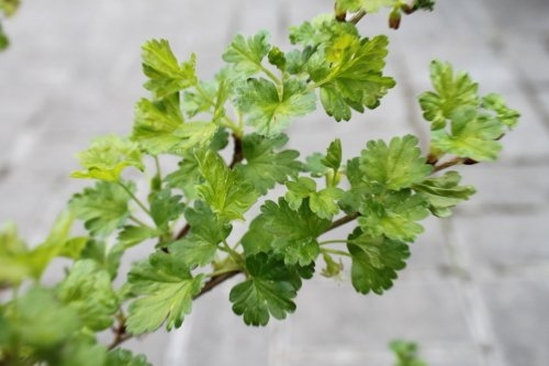 Gooseberry Bush 'Hinnonmaki Yellow'
