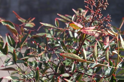 Nandina Domestica - SACRED BAMBOO- LARGE PLANTS Approx 1M Tall