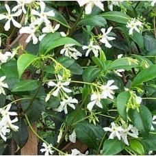 Trachelospermum Jasminoides - Star Jasmine-Approx 2M tall.