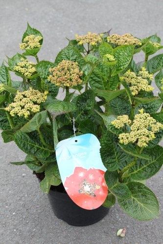 Hydrangea Macrophylla Teller 'Red'