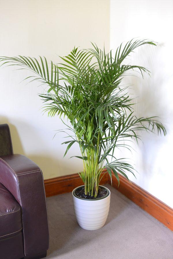 Chrysalidocarpus lutescens Areca Palm - Butterfly Palm 1.7m