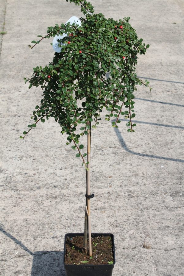 Cotoneaster Winter Jewel - half standard -1.2M Tall
