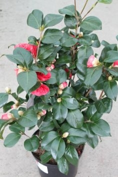 Camelia Japonica 'Lady Campbell'