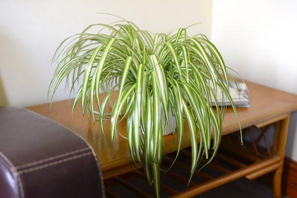 Chlorophytum - Indoor Spider Plant