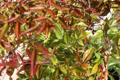 Nandina Domestica - SACRED BAMBOO- BUSHY PLANTS-Approx 40cms tall