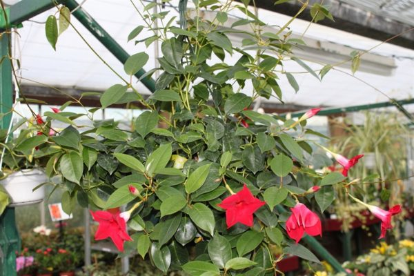 Dipladenia sanderi - Mandevilla (Red) In a Hanging Pot