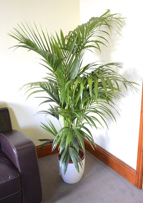 Howea forsteriana - Kentia Palm - Available in 3 sizes.