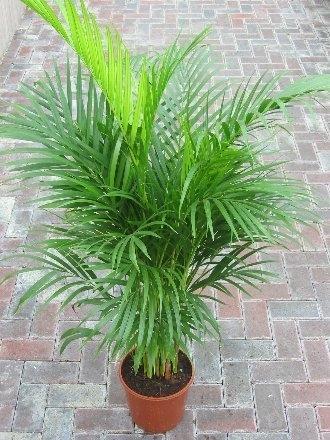 Chrysalidocarpus lutescens Areca Palm - Butterfly Palm 1m