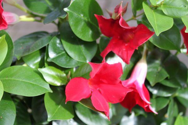 Dipladenia Sanderi - Mandevilla Approx 60cms Tall on a Trellis- Red