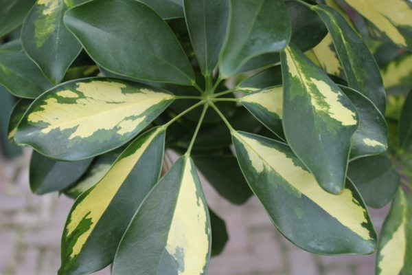 Schefflera Arborea Gold Capella -Umbrella Plant 90cm Tall With Braided Stem