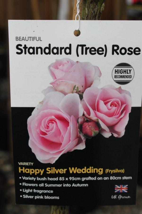 Standard Rose Tree Bush Variety 'Happy Silver Wedding' 1.2m tall