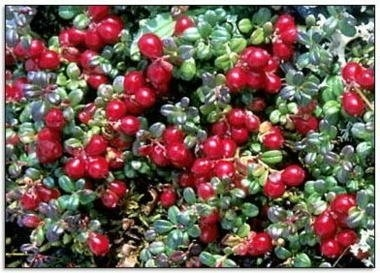 Soft Fruit Plants- Cranberry Bush 50cm tall