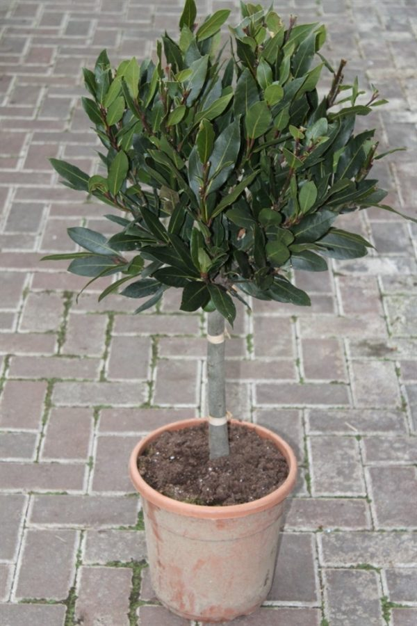 Bay Trees - Real Half Standard Bay Trees - 1m Tall-Laurus Nobilis