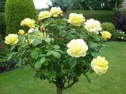 Standard Rose Tree Bush Variety 'Arthur Bell' (Floribunda) 1.5m tall