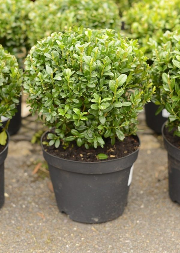Buxus sempervirens Globe Shape Box Plant Approx 20cm Wide