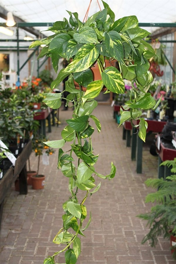 Scindapsus Aureus- Commonly known as Devils Ivy-in a hanging pot
