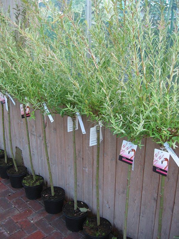 Salix Integra Hakuro Nishiki - Approx 1M Tall Half Standards